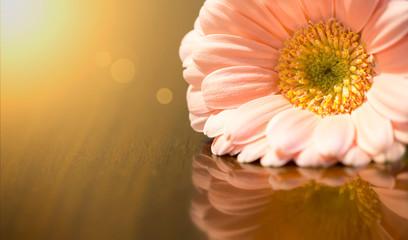 Spring forward, springtime banner - pink daisy flower on golden background