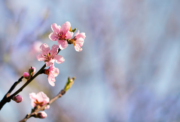 Spring forward, springtime concept - pink flowers,  background with copy space