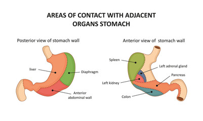 Areas of contact with adjacent organs stomach