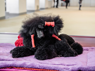 Medium size black Poodle lying on the stand prepared grooming for the dog expo exhibition and show, competition.