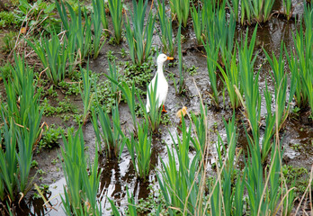 White duck with a cute baby hiding in wet vegetation