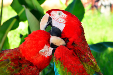 Two red macaw parrots on the branch