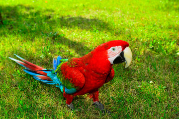 Scarlet Macaw on the grass.