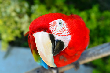 Colorful parrot.Scarlet Macaw