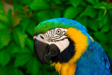 Portrait of a colored parrot.Blue and Gold Macaw