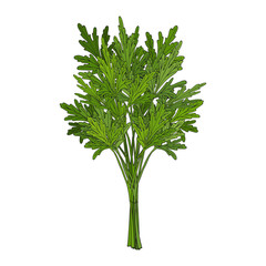 Bunch of parsley. hand drawn element. Objects for packaging, advertisements. Isolated image. Vector illustration.