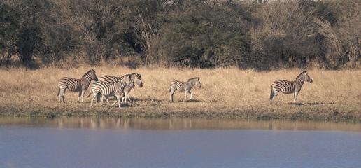 Herd of zebras in the African savannah