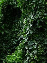 Overgrown green jungle ivy weed blooming in garden