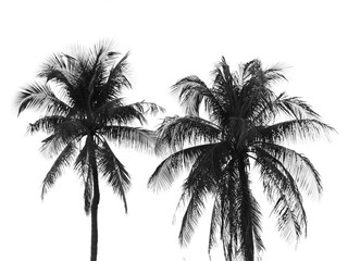 Coconut palm tree silhouette