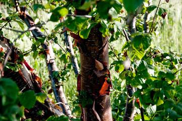 Betula albosinensis - Kupferbirke, Rote China-Birke, Chinesische Birke