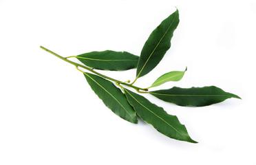 Branch of bay leaf