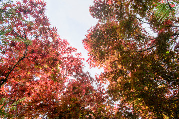 Beautiful red maple leaves with blurred background in the mountain in Taiwan