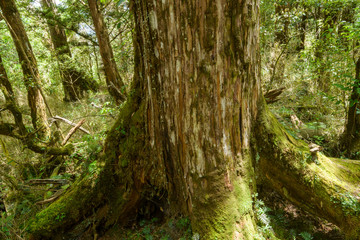 moss-covered  tree trunk and roots in temperate wet forest