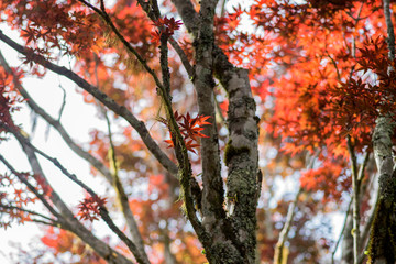 Red maple leaves with blurred background during autumn season