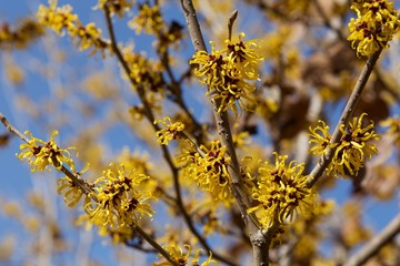 Yellow flowers witch hazel blossoms in early spring.