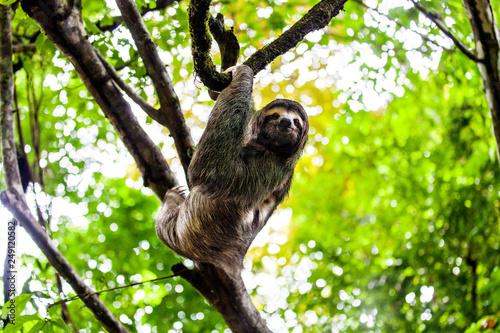 Sloth Manuel Antonio National Park Costa Rica Central America