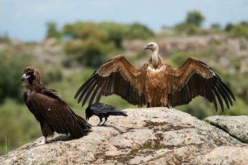 Cinereous Vulture, Aegypius monachus and Griffon Vulture, Gyps fulvus, Common raven, Corvus corax, standing on a rock