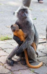 Silvered leaf monkey hugs its orange colored baby Malaysia