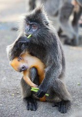 Silvered leaf monkey with its orange colored baby Malaysia
