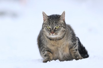 Beautiful tabby cat in the snow. Felis silvestris. Cat in the nature. Black and white photo
