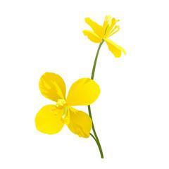 Celandine flowers isolated on white background. Vector illustration.