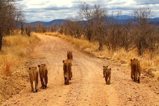 Lion Pride Walking Away