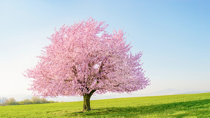 Flowering sakura tree cherry blossom. Single tree on the horizon with white flowers in the spring. Fresh green meadow with blue sky.