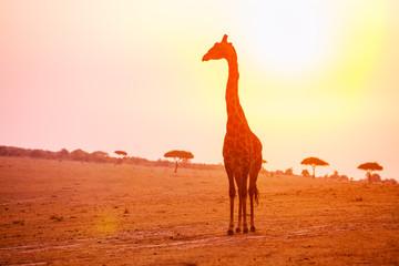 Profile of giraffe stand in sunset light