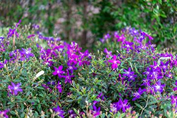 purple violet flower in the garden at the morning sunlight.