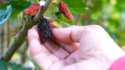 Fototapete - Farmer check for the ripe mulberry fruit at mulberry tree