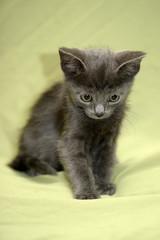 gray kitten russian blue on green background