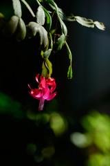 Christmas Cactus (Schlumbergera) in bloom