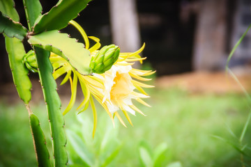 Beautiful dragon fruit flower is blooming with young green dragon fruit bud on tree. Organic raw green dragon fruit flower hanging on tree.