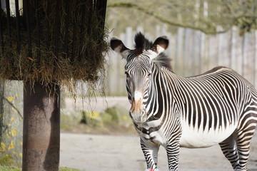 Canvas Prints Horses Zebra paard
