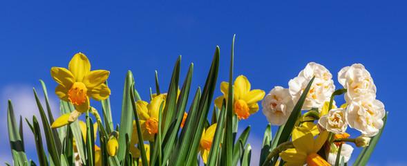 Banner: gelbe und weisse Narzissen vor blauem Himmel