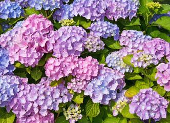 Foto auf Leinwand Hortensie Blühende Hortensien