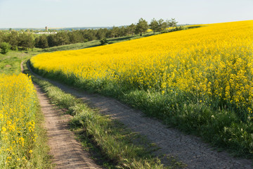 Canvas Prints Culture yellow flowering canola field, a road passes at the edge of the field