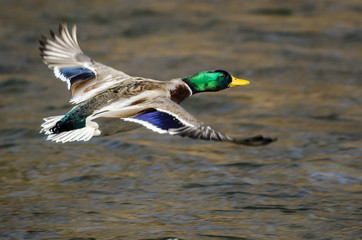 Wall Mural - Mallard Duck Flying Over the Flowing River