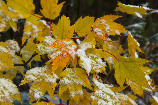 Many yellow maple leaves dusted with early snow in a forest