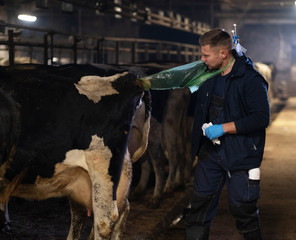 A veterinarian makes the procedure of artificial insemination of a cow in a farm