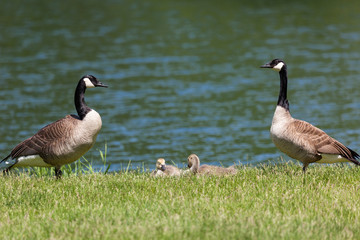 Goose Family by a Pond