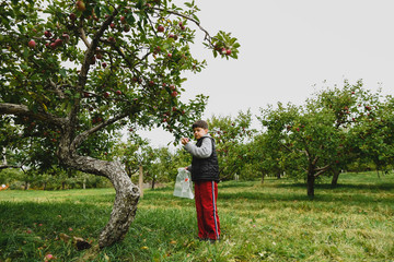 Boy wearing warm clothing picking apple from fruit tree at farm Wall mural