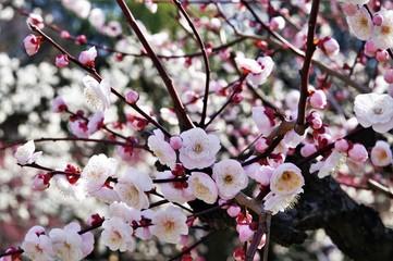 Scientific name is Prunus mume: Japanese apricot.