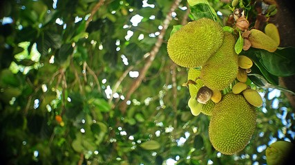 Jackfruit Tree and Young Jackfruits, Tropical fruit on tree in the nature