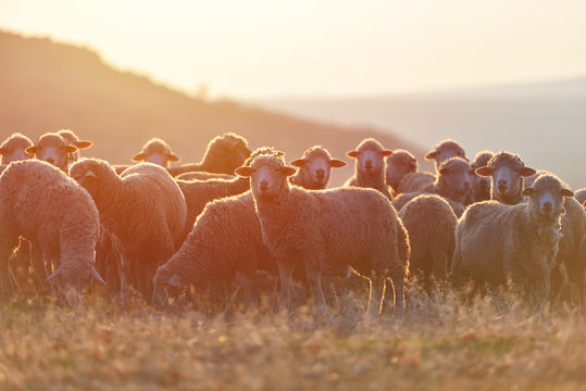 Flock of sheep at sunset with warm lens flare