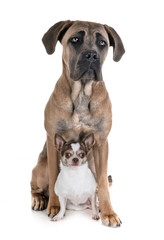 young cane corso and chihuahua