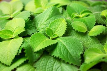 Green mint leaves falling down on horizontal background