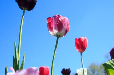 Fotoväggar - Blühende Tulpen im Frühling