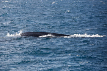 Blue whale watching safari in Sri Lanka. Blue whale in the open sea.