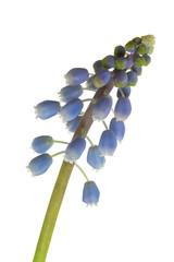 Muscari blossom closeup isolated